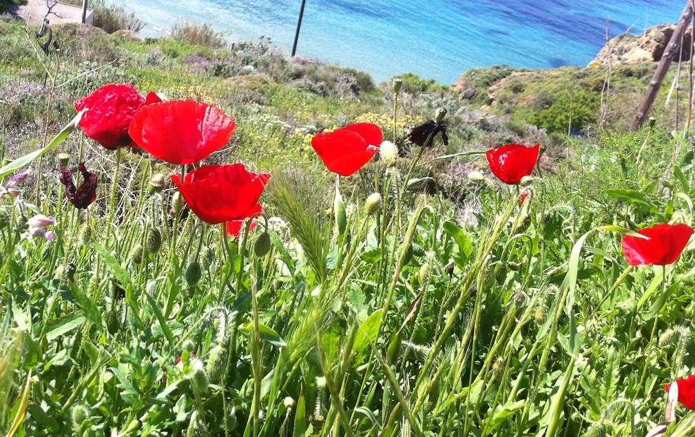 Παπαρούνες. Το λουλούδι που χαρακτηρίζει την ειρήνη μετά τον Πρώτο Παγκόσμιο  Πόλεμο. Η φωτογραφία είναι από την Αμοργό (Αιγιάλη). 688abab2847