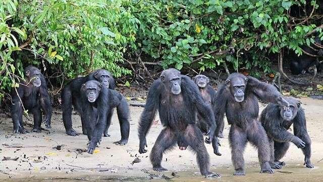 Δείτε το Νησί των Χιμπατζήδων στη Λιβερία
