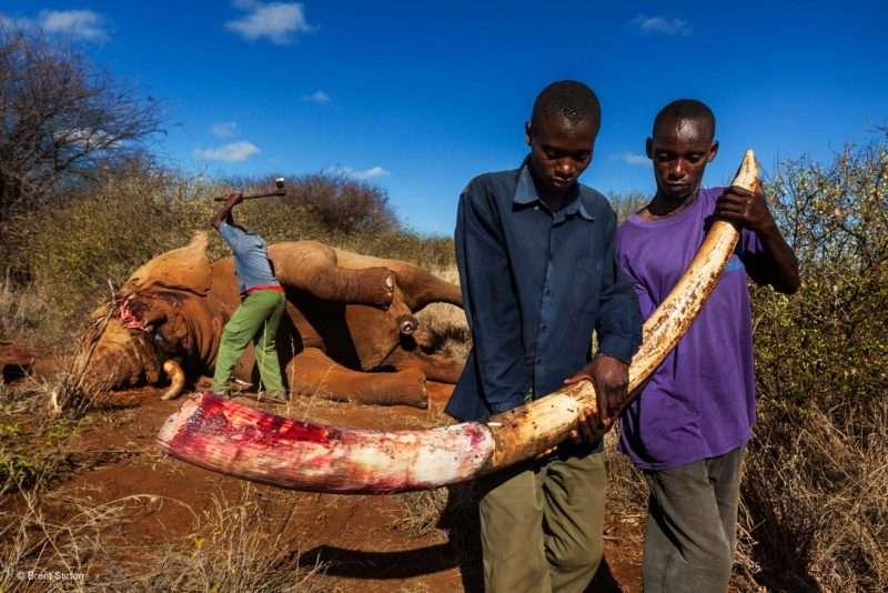 Προστατεύουμε τους ελέφαντες – Σταματάμε το εμπόριο ελεφαντόδοντου