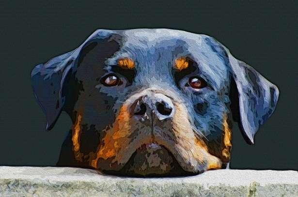 Τι συμβουλεύουν οι ειδικοί για το Rottweiler